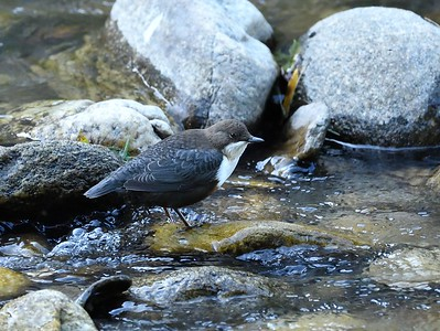 White-throated Dipper/Cinclus cinclus, воден кос, Клептуза