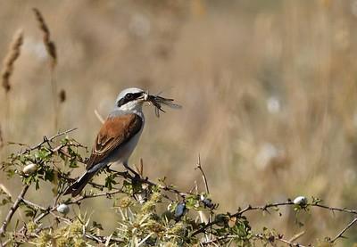 Red-backed Shrike/Lanius collurio, червеногърба сврачка, край Българево