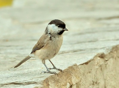 Marsh Tit/Poecile palustris, Лъскавоглав синигер, Клептуза.