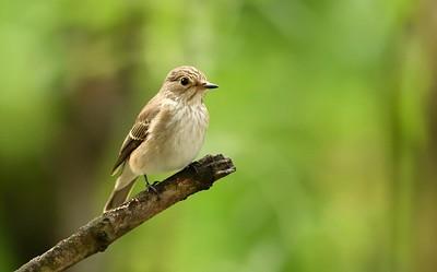 Spotted Flycatcher/Muscicapa striataр, Сива мухоловка, от хола в София