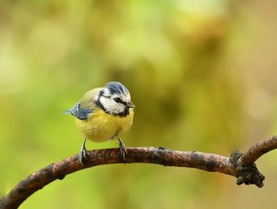 Blue Tit/Cyanistes caeruleus, Син синигер, от хола в София