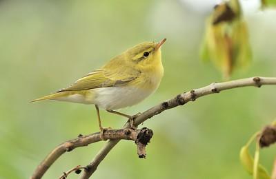 Wood Warbler/Phylloscopus sibilatrix, Буков певец, от хола в София