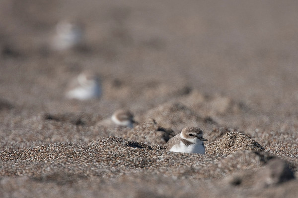 Snowy Plovers, Limantour Beach, Ca, USA