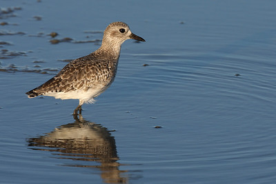 Plover, Limantour Beach. Ca. USA