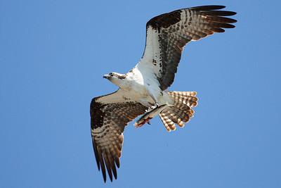 Osprey, Shelter Cove, Ca. USA