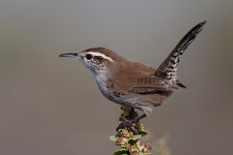 Bewick's Wren, Hawk Hill, Ca. USA