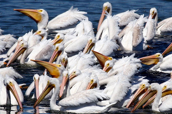 White Pelicans, Charleston Slough, Ca. USA