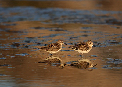 Least Sandpiper, Pacific Grove, California