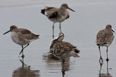 Willetklire, Willet (Tringa semipalmata), California