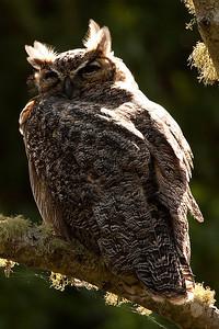 Great Horned Owl, Point Reyes, California