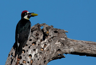 Acorn Woodpecker, Arastradero, California