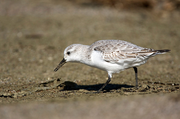 Sanderling, Limantour Beach, Ca. USA