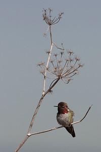 Anna's Hummingbird, Abbott's Lagoon, Ca. USA