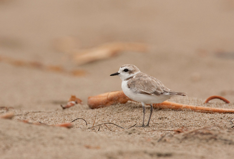 Snowy Plover, Limantour Beach, California