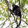 Howler Monkey 2R5A0127p
