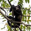 Howler Monkey 2R5A0066P