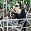 White-faced Monkey 2R5A2400p
