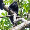 Howler Monkey 2R5A0166p