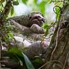 Three-toed Sloth 2R5A0015p