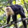White-faced Monkey 2R5A1513p