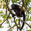 Howler Monkey 2R5A0177P