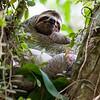 Three-toed Sloth 2R5A9964p
