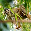 Squirrel Monkey 2R5A0374p