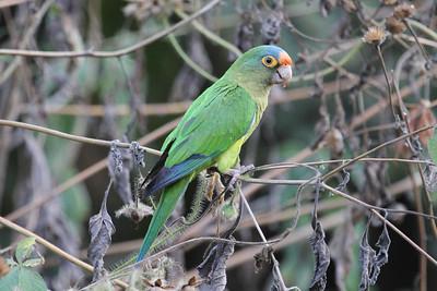 Orange-fronted Parakeet (Aratinga canicularis)