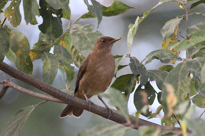 Clay-colored Thrush (