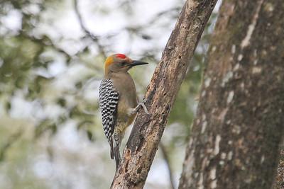Hoffmann's Woodpecker (Melanerpes hoffmannii)