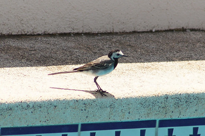 Pied Wagtail, Altea, Spain