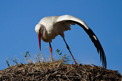 Hvid stork, White stork, Extremadura