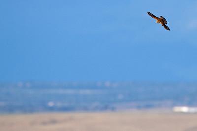Lille tårnfalk, Lesser Kestrel, (Falco naumanni), Extremadura