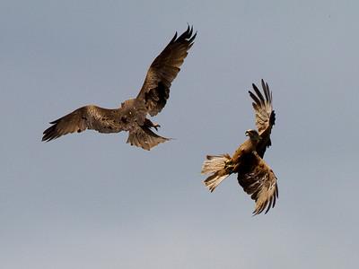 Sorte glenter, Black kites (Milvus migrans), Extremadura