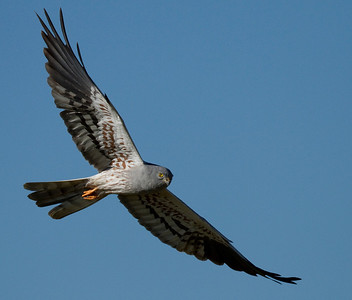 Hedehøg, han, Montagu's Harrier, male (Circus pygargus), Extremadura