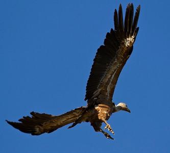 Gåsegrib, Griffon Vulture Gyps fulvus, Extremadura
