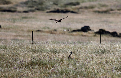Rørhøg, Western Marsh Harrier (Circus aeruginosus), mocking a Stortrappe, Great bustard (Otis tarda), Extremadura, Spain