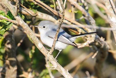 Gnatcatcher - Blue-gray - Egan's Creek Greenway - Amelia Island, FL