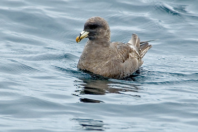 Fulmar - Northern - Pelagic trip - Newport, OR - 02