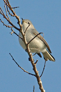 Gnatcatcher -Blue-gray - Apalachicola, FL