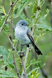 Gnatcatcher - Black-tailed - California Gulch, AZ