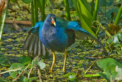 Gallinule - Purple - Corkscrew Swamp, FL