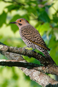 Flicker - Northern - male - Dunning Lake, MN - 01