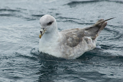 Fulmar - Northern - Pelagic trip - Newport, OR - 01