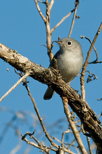 Gnatcatcher - Blue-gray - Bailey Tract - Sanibel Island, FL