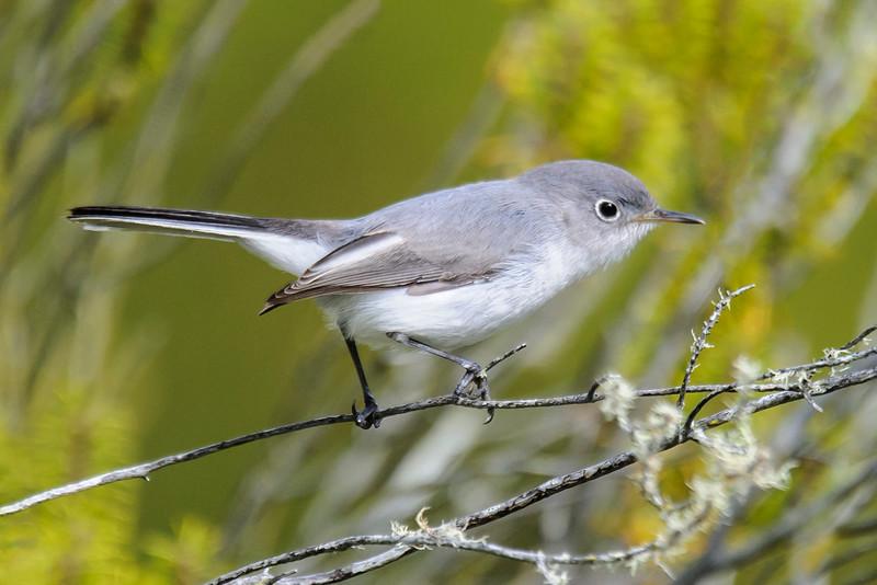 Gnatcatcher - Blue-gray - Salinas Park - St. Joe, FL