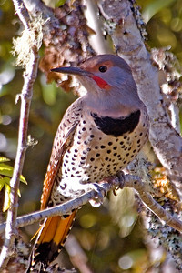 Flicker - Northern (red shafted) - South Slough, OR