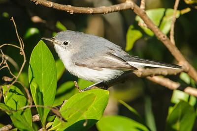Gnatcatcher - Blue-gray - Pond Apple Pond Trail - Sanibel Island, FL
