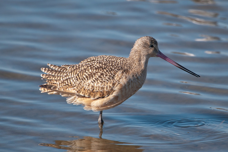 Godwit-Marbled-South Padre Island, TX