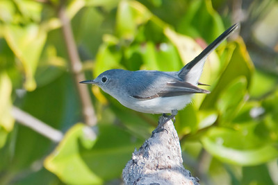 Gnatcatcher - Blue-gray - Cayo Costa State Park, FL